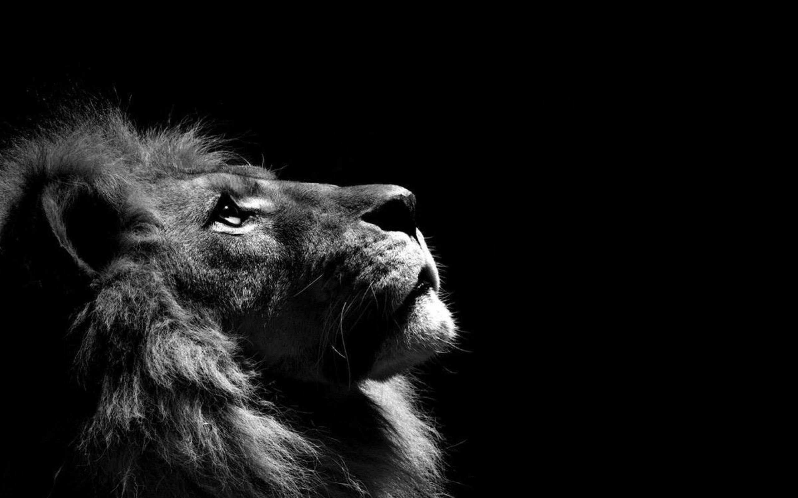Favori Wallpapers Lion - MaximumWallHD DT97