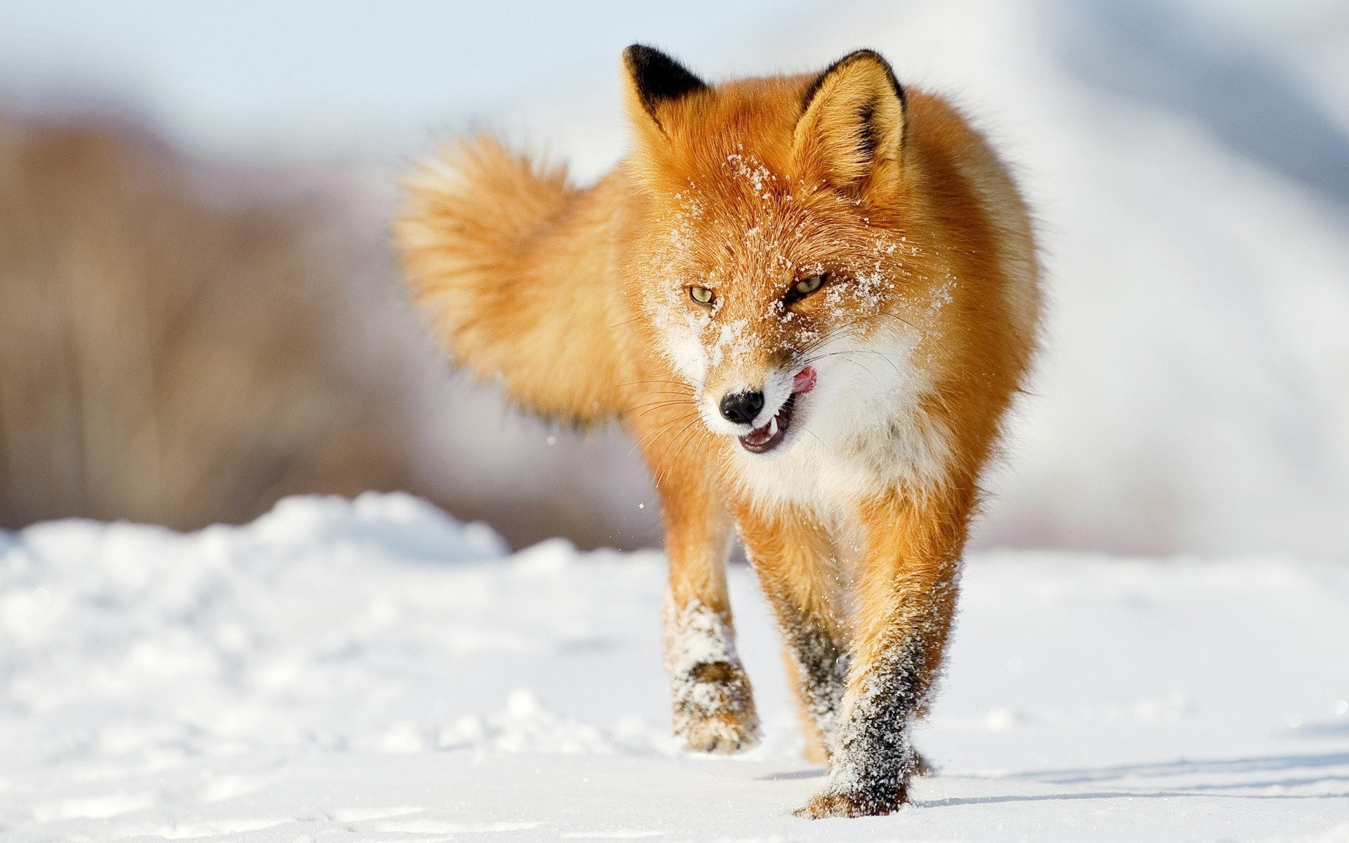 funny wallpaper red fox - photo #12