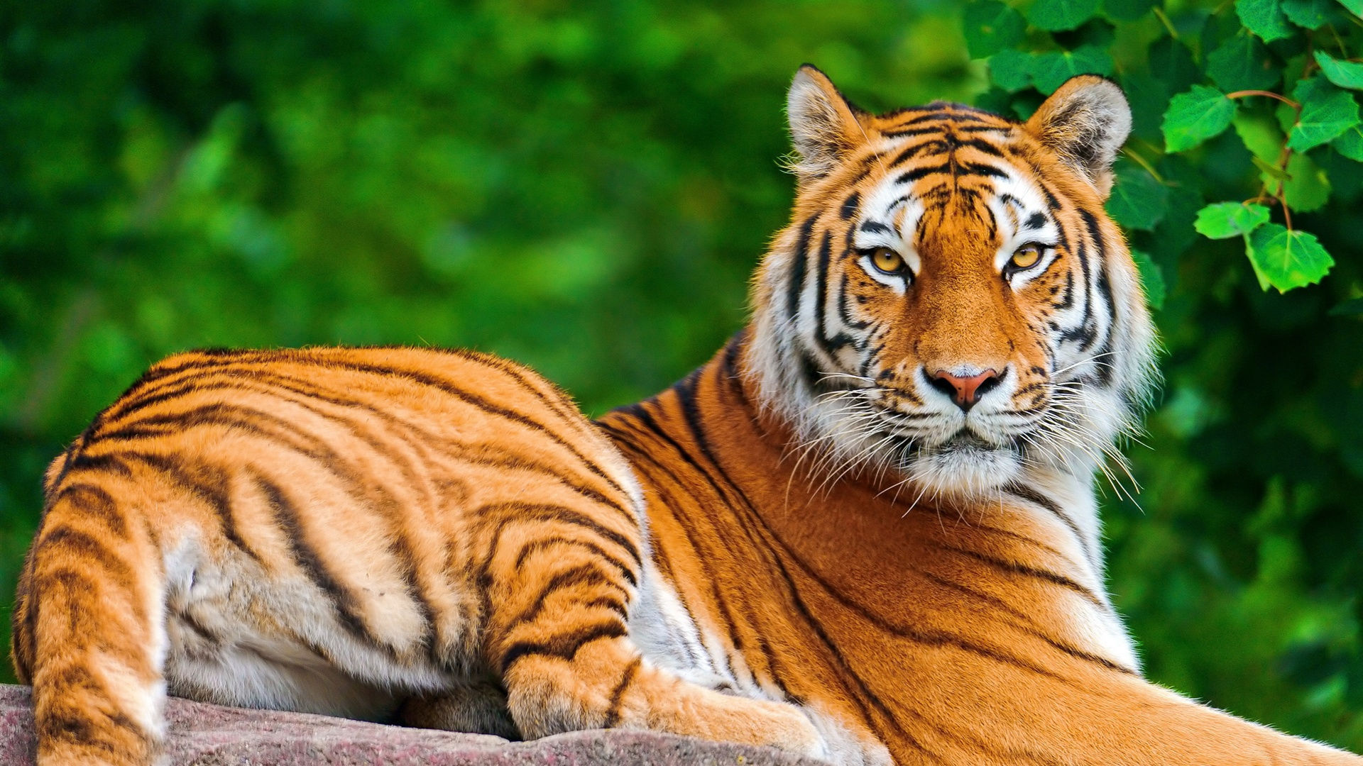Fonds D Ecran Tigre Maximumwallhd