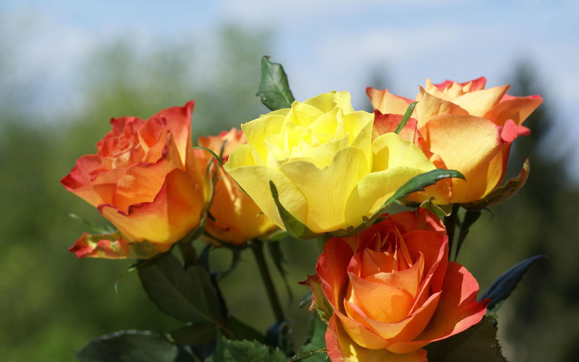 Fonds D Ecran Rose Fleur Maximumwallhd