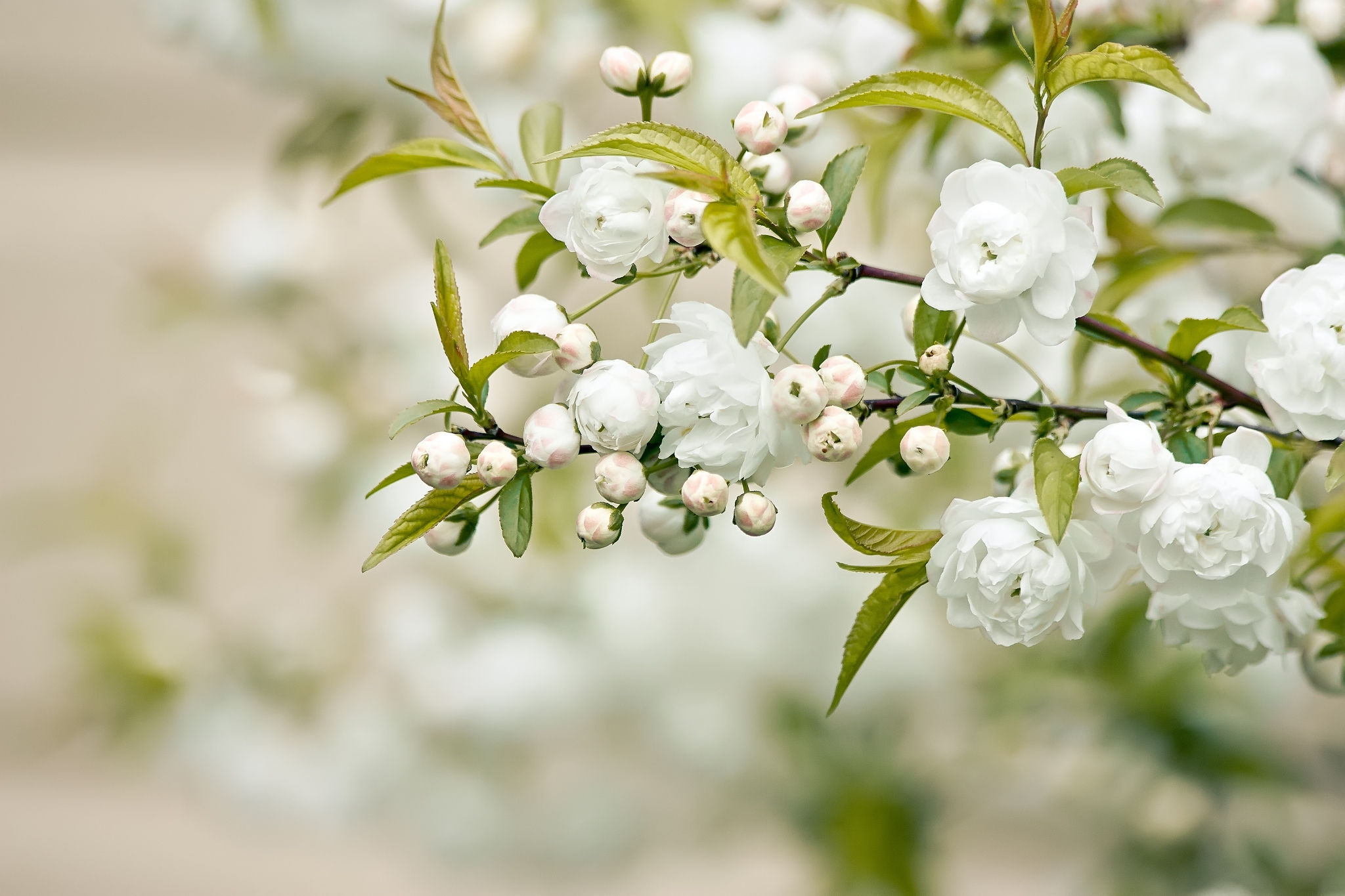 White Flowers On Branches