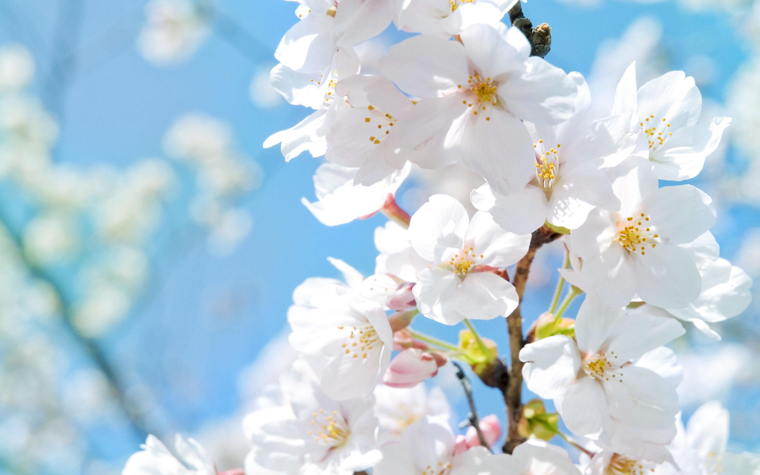 fonds d'écran fleurs blanches - maximumwallhd