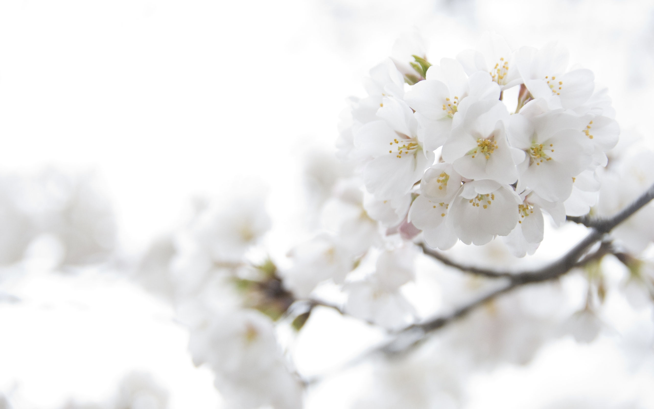 Fond décran haute définition Fleurs Blanches