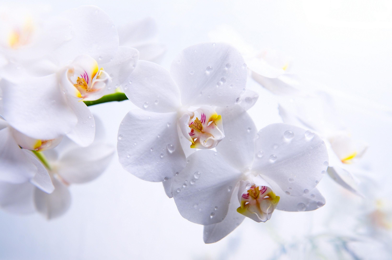 fond d'ecran gratuit fleurs blanches