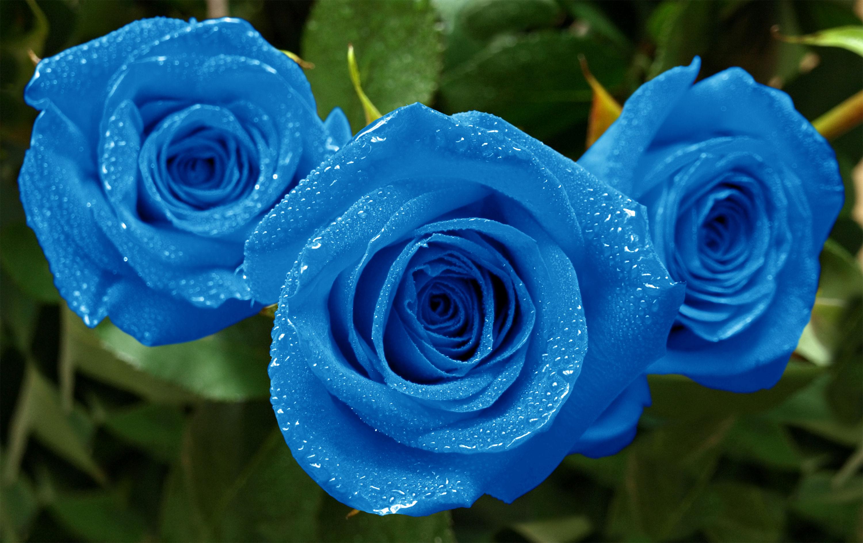 fonds d'écran fleurs bleues - maximumwallhd