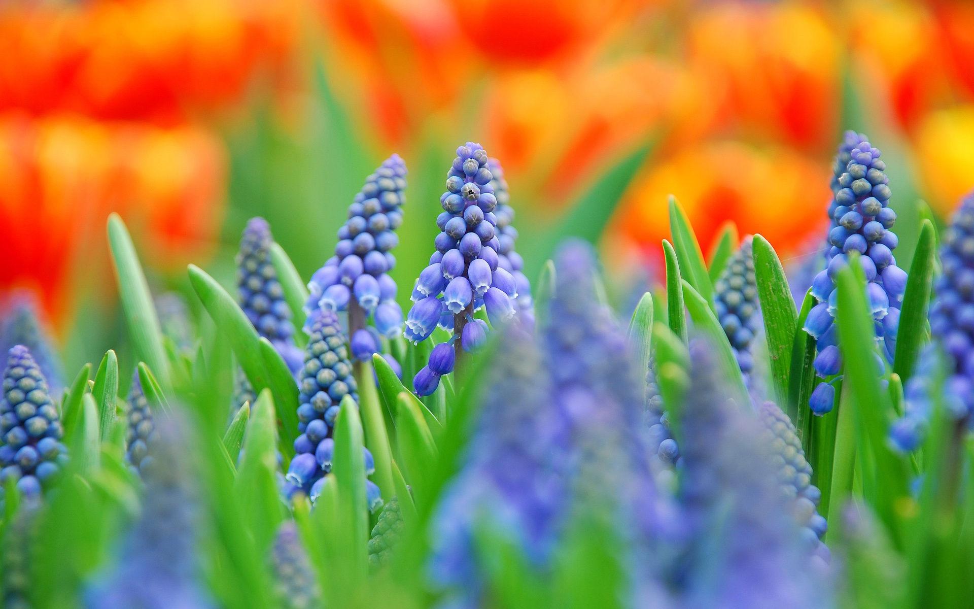 Fonds d\u0027écran Fleurs Bleues , MaximumWallHD