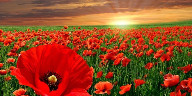 fonds d'écran fleurs rouges - maximumwallhd