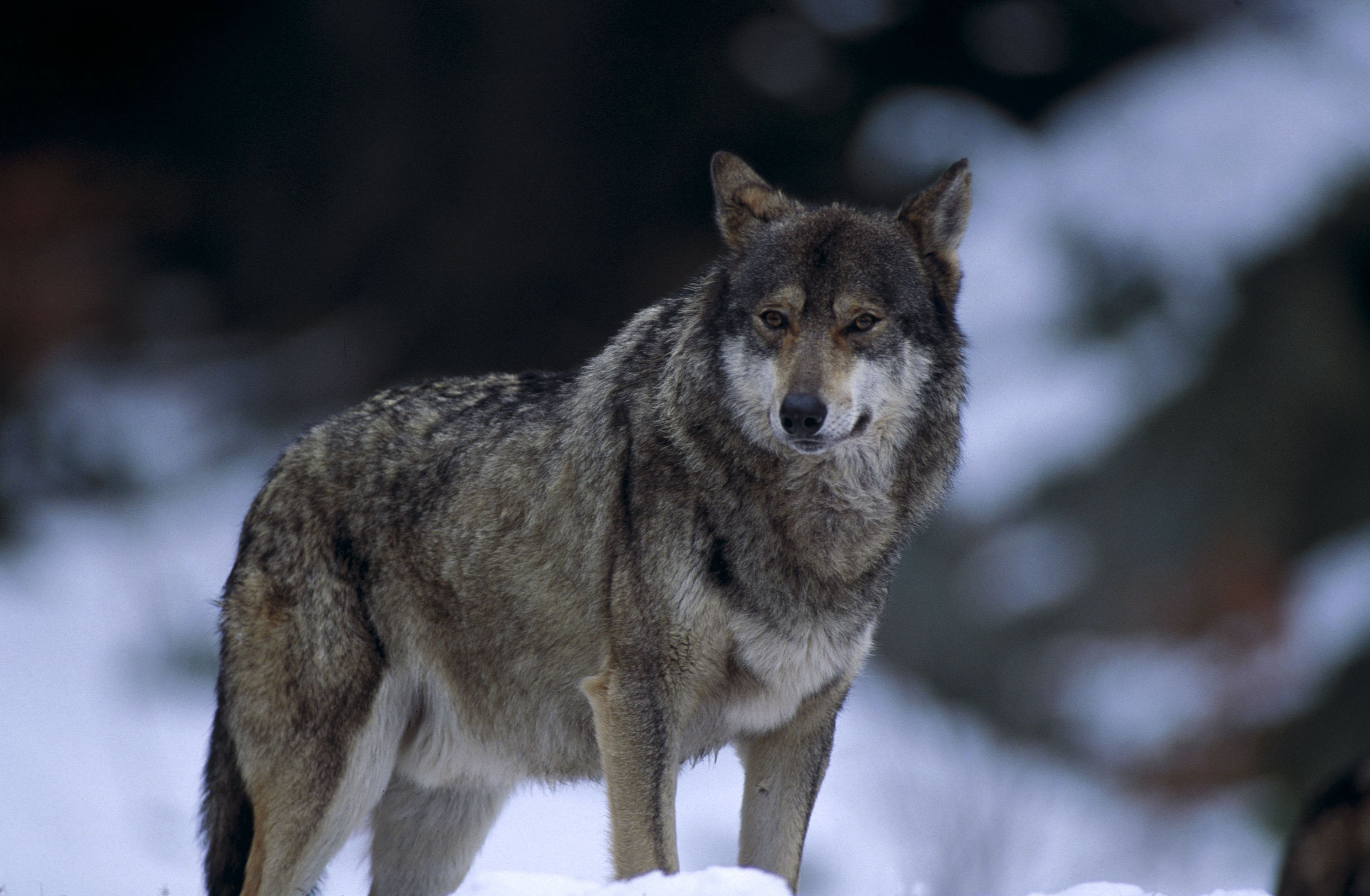 wallpaper loup fond - photo #30