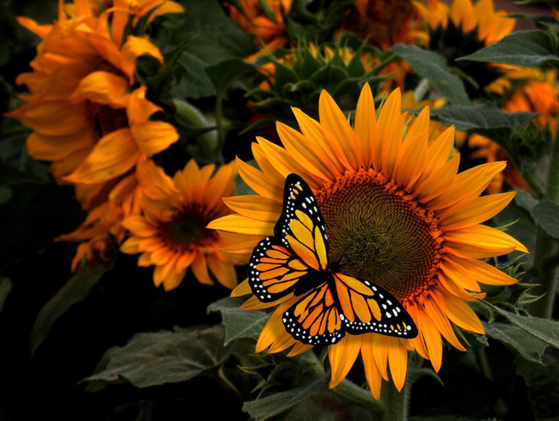 Wallpapers papillon hd le color de fleur x fonds d cran photo 1366x768 - Fonds D Cran Papillon