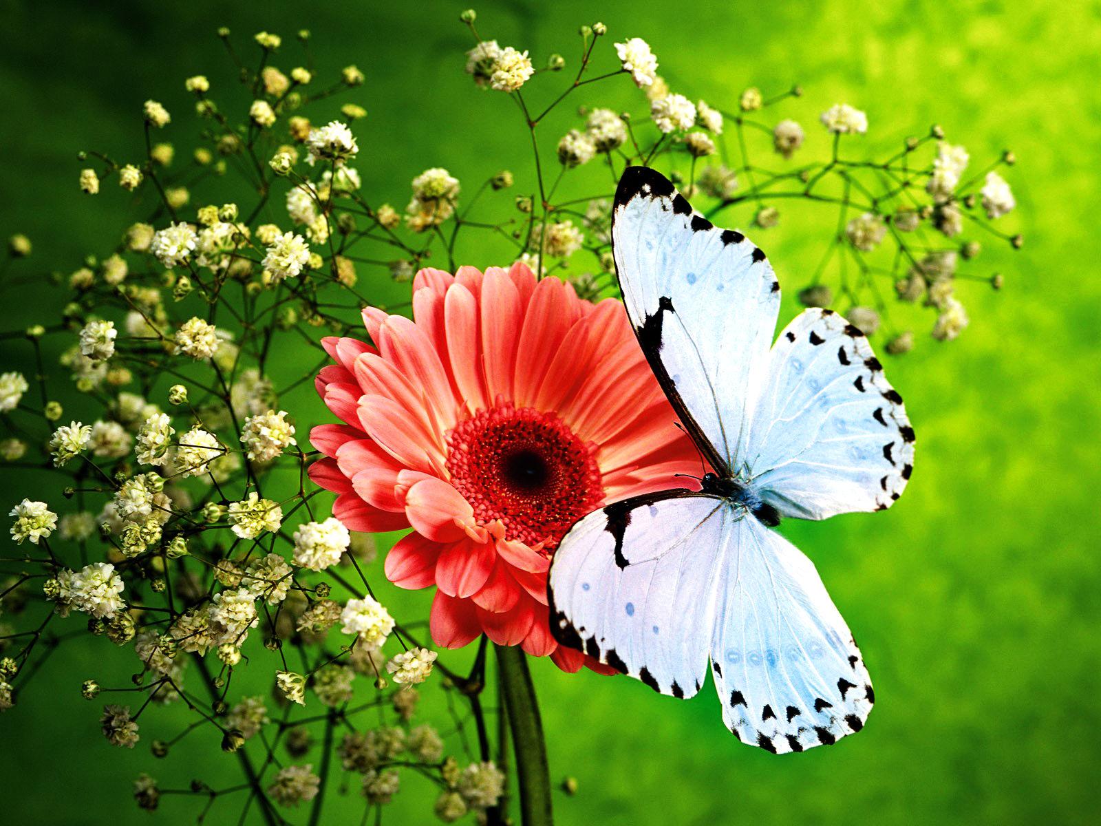 Wallpapers papillon hd le color de fleur x fonds d cran photo 1366x768 - Photo Hd Papillon Wallpaper Haute D Finition Papillon Fond D Cran
