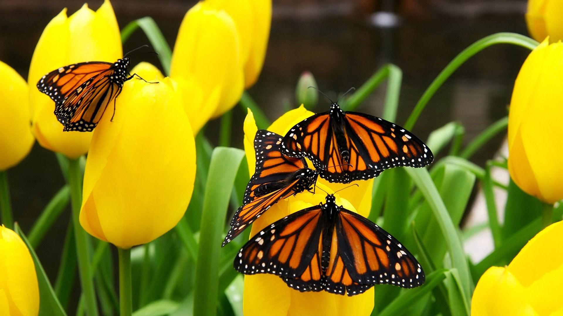 Wallpapers papillon hd le color de fleur x fonds d cran photo 1366x768 - Image Papillon Sur Une Fleur Photo Papillon Wallpaper Hd Papillon Monarque Fond D Cran Hd Papillon Arri Re
