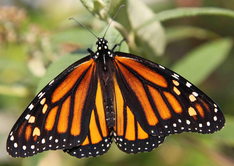 Wallpapers papillon hd le color de fleur x fonds d cran photo 1366x768 - Wallpaper Hd Papillon Monarque Fond D Cran Hd Papillon Arri Re