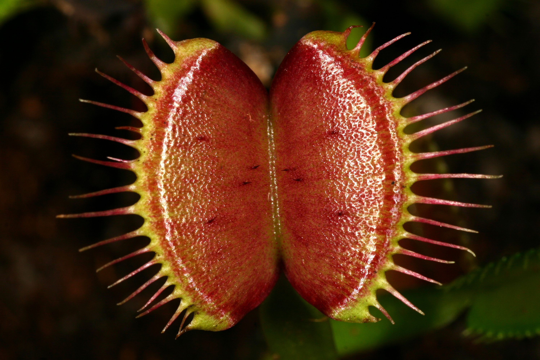 plante carnivore definition