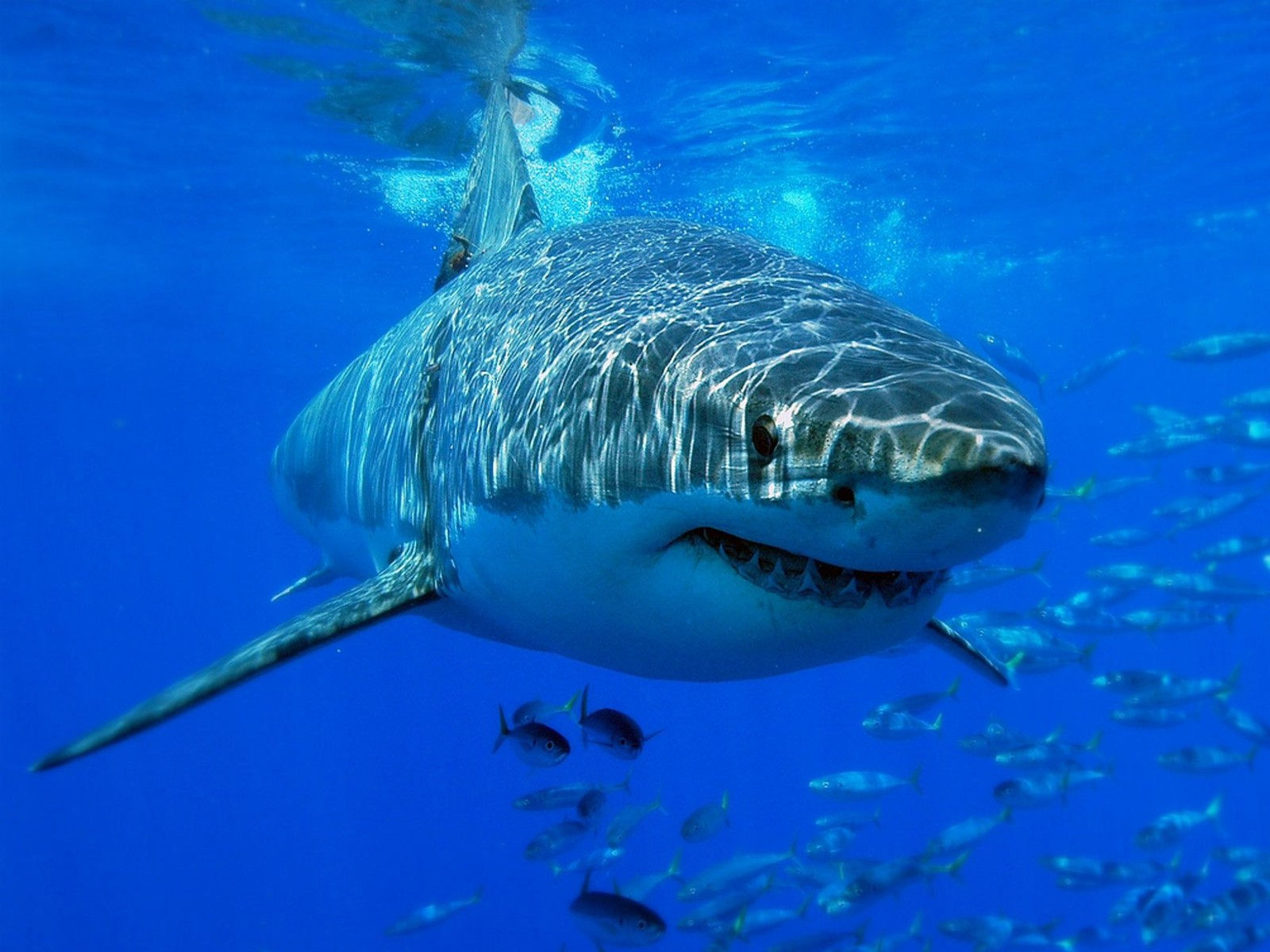 Fonds D écran Requin Maximumwallhd