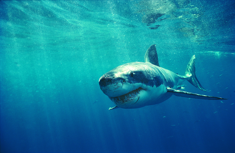Top Fonds d'écran Requin - MaximumWallHD VU26