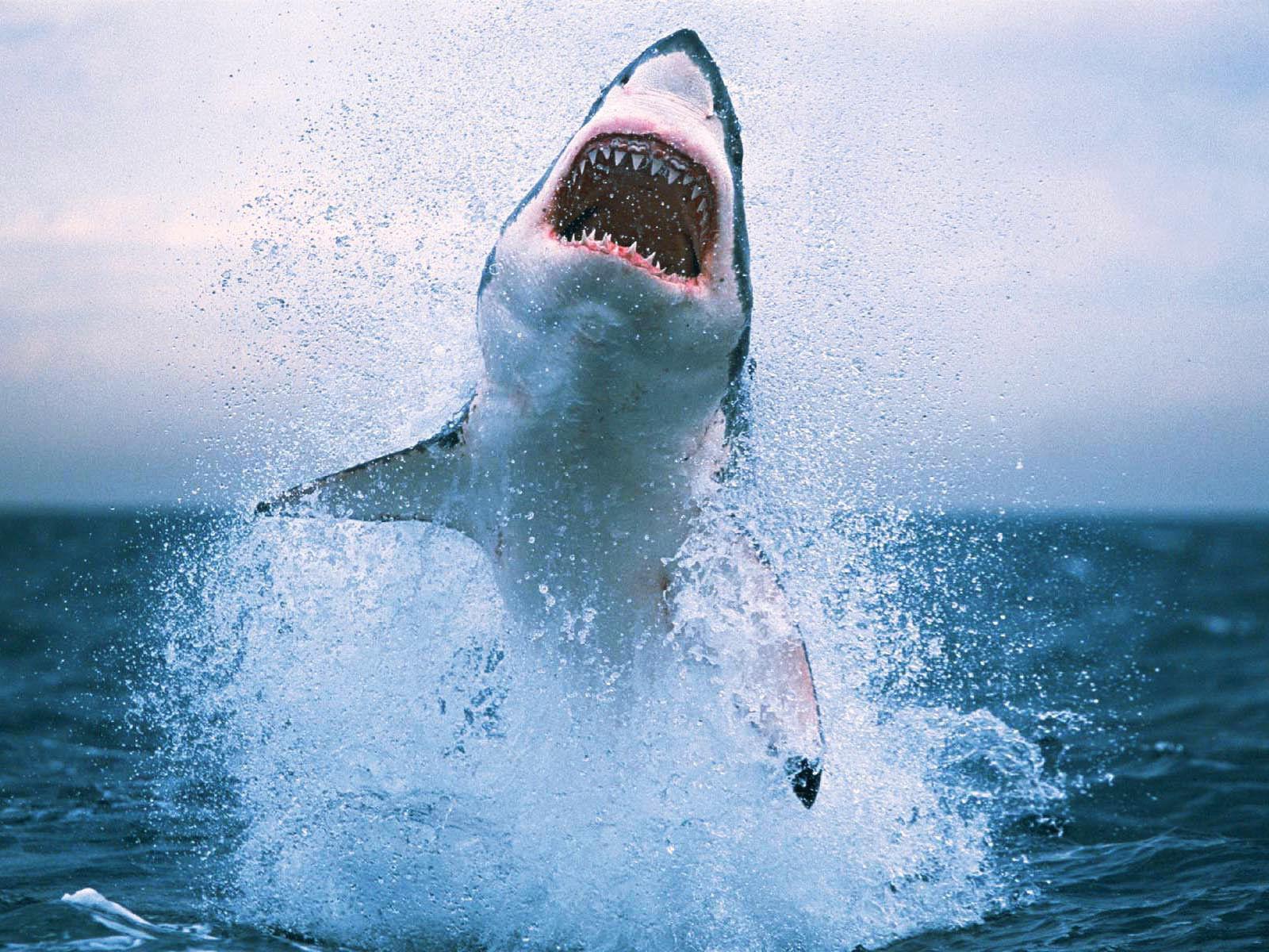 Fonds D Ecran Requin Maximumwallhd