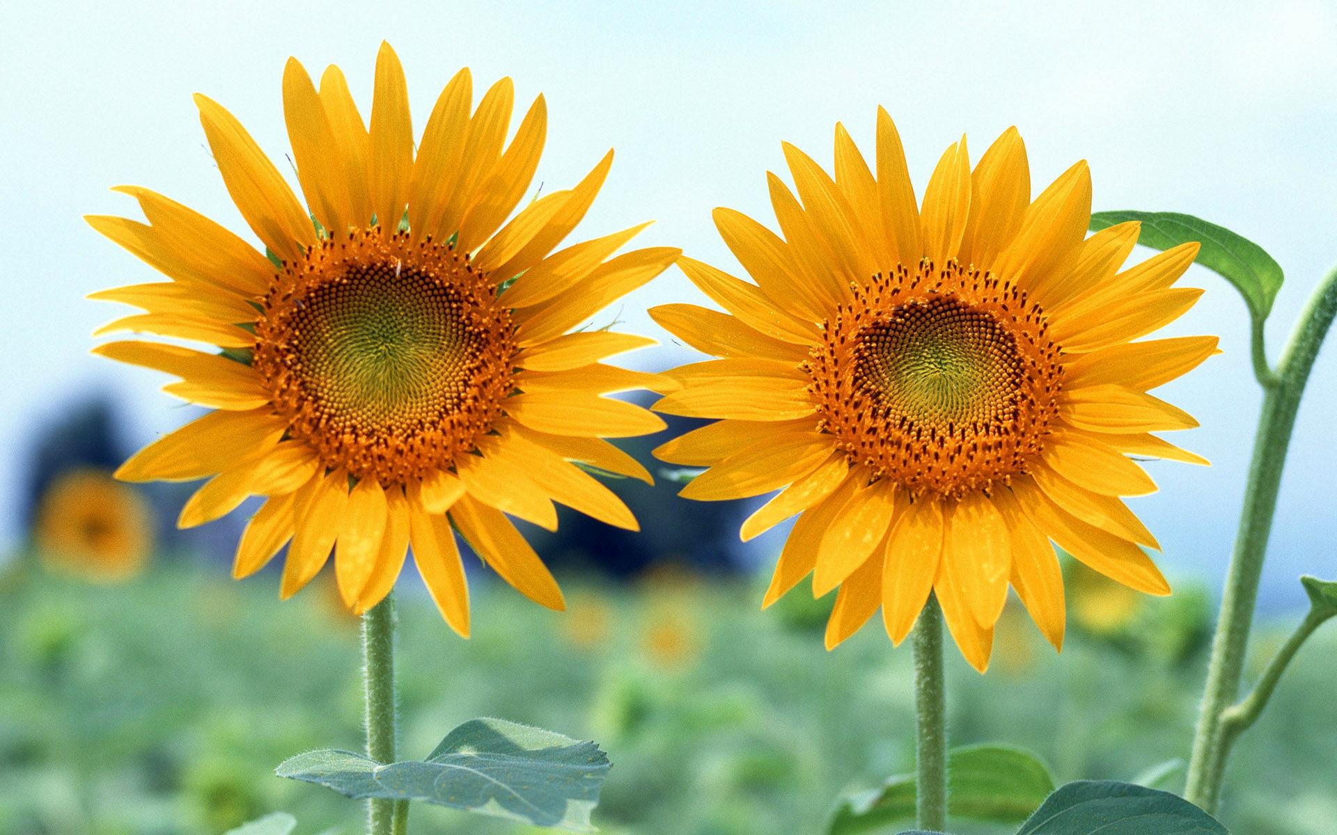 Fonds décran Fleurs Magnifiques
