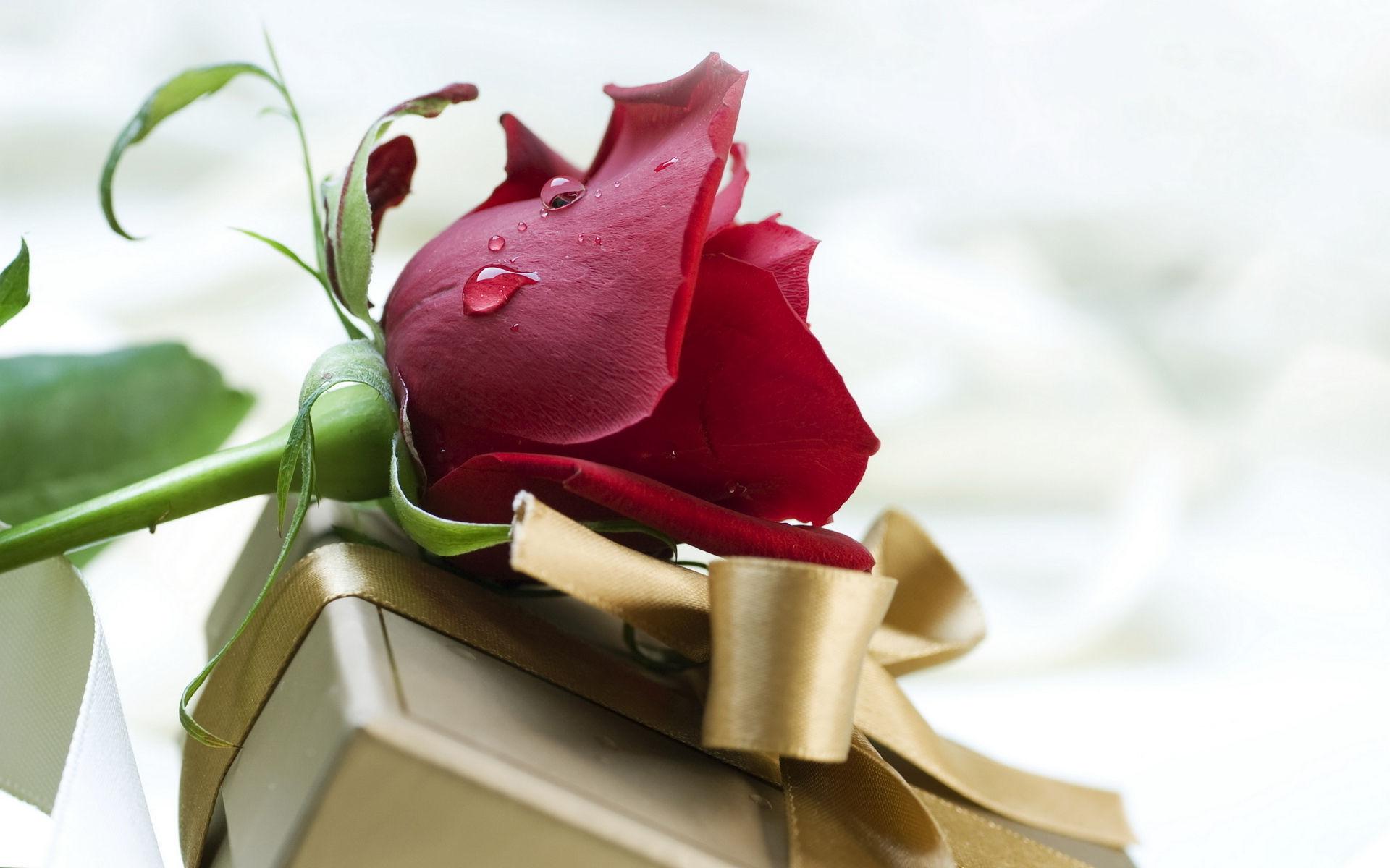 fonds d'écran st-valentin fleur rose - maximumwallhd